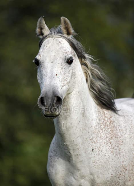 Germania, Baden-Wuerttemberg, cavallo arabo closeup vista muso, caballus di ferus di Equus — Foto stock