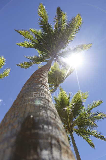 Oceania, Fiji Islands, Palms against the sun, bottom view — Stock Photo