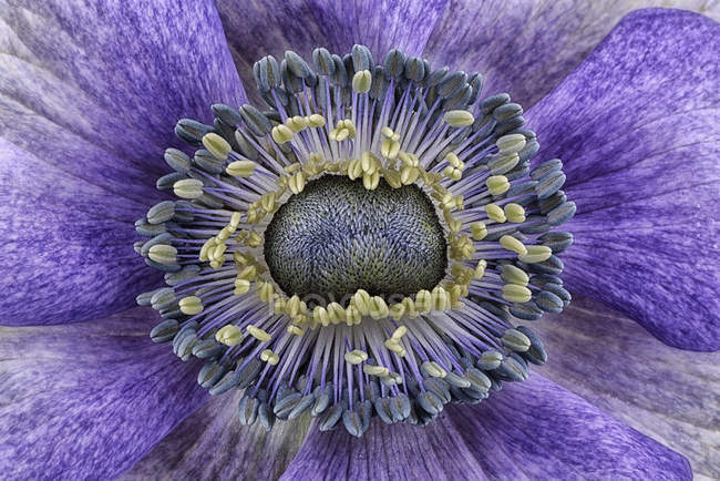 Detail of violet anemone, full frame — Stock Photo