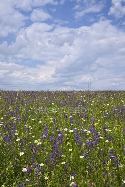Flowery summertime meadow in Baden-Wuerttemberg, Germany — Stock Photo