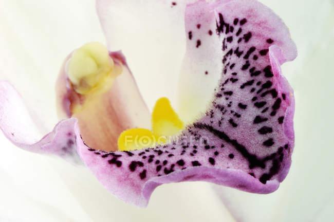 Detail of boat orchid, Cymbidium on white background — Stock Photo