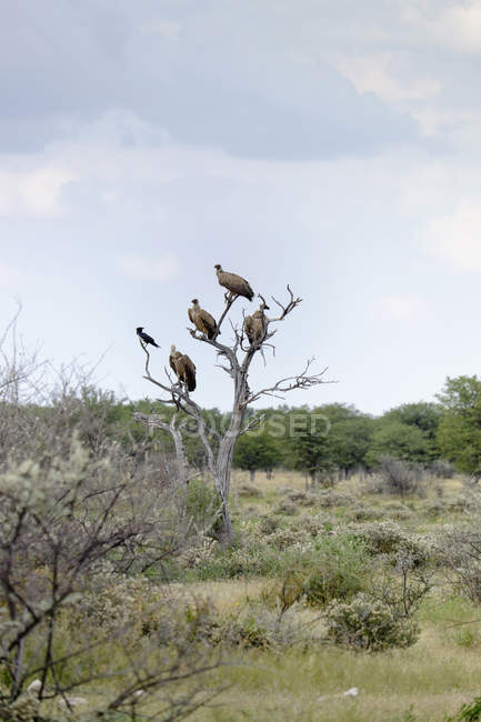 Africa, Namibia, Etosha National Park, Cape Griffons, Gyps coprotheres perching on bare tree — Stock Photo