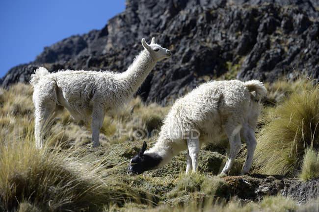 America del sud, dipartimento di La Paz, Altiplano, Llamas che pascono in montagne — Foto stock