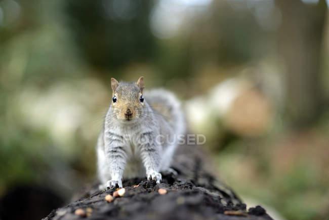Vista frontale di carino scoiattolo grigio in piedi sul tronco d'albero — Foto stock