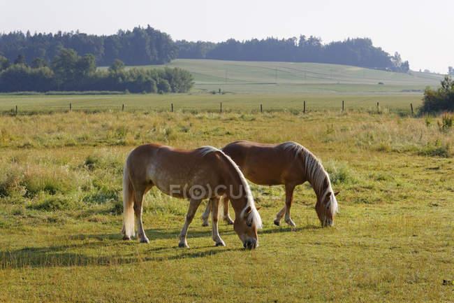 Germany, Bavaria, horses on paddock near Rins, grazing — Stock Photo