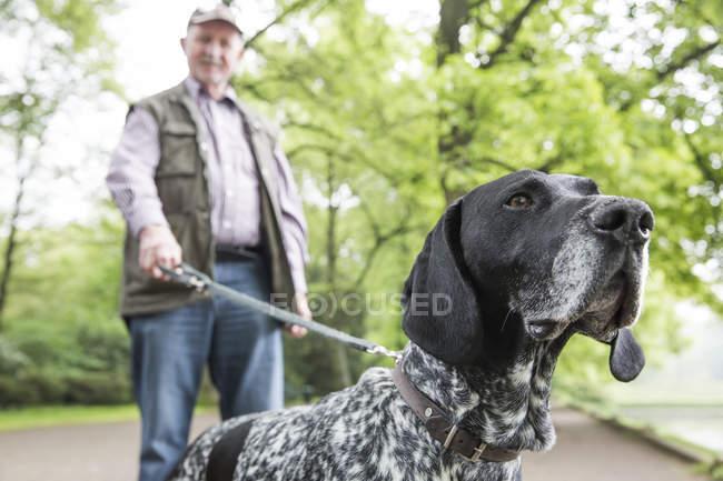 Старший людину, що йде зі своєю собакою Shorthaired Німецька жорсткошерстна лягава в міському парку — стокове фото