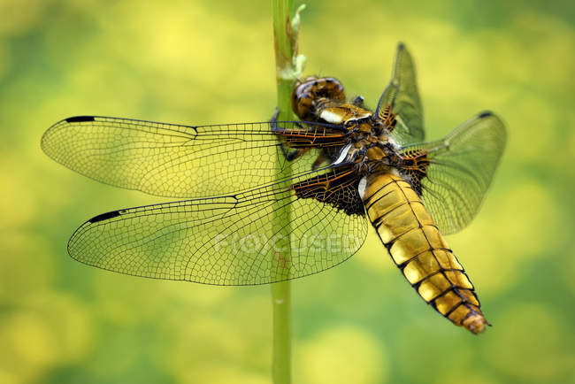Libellula depressa dragonfly — стоковое фото
