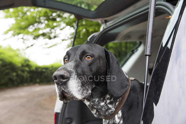 German Shorthaired Pointer looking out of opened car — Stock Photo