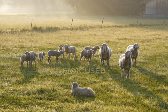 Germany, Bavaria, flock of sheep at Simssee on green meadow in sunlight — Stock Photo
