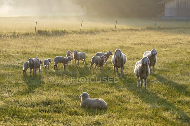 Deutschland, Bayern, Schafherde am Simssee auf grüner Wiese im Sonnenlicht — Stockfoto