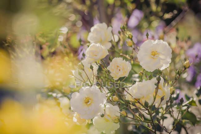 Roses blanches Allemagne, Saxe, Rosa sur fond flou — Photo de stock