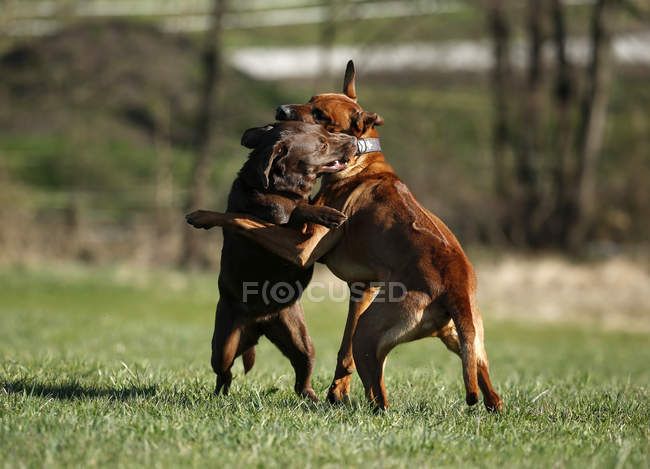Rhodesian Ridgeback and brown Labrador Retriever play fighting on meadow — Stock Photo