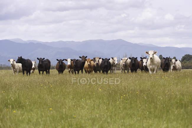 Neuseeland, Herde der Kühe stehen in einer Reihe auf Weideland — Stockfoto