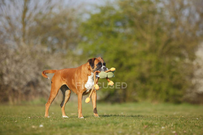 German Boxer playing with toy on meadow — Stock Photo