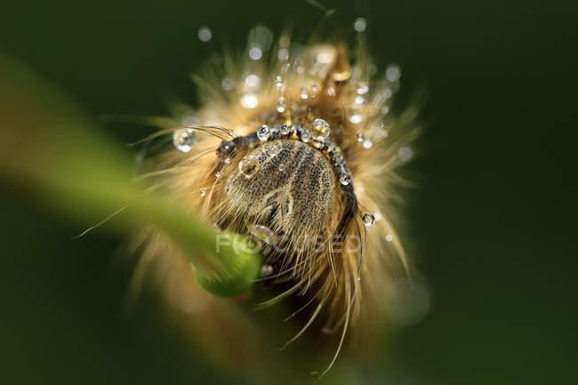 Gros plan de chenille se déplaçant par un brin d'herbe verte, fond flou — Photo de stock