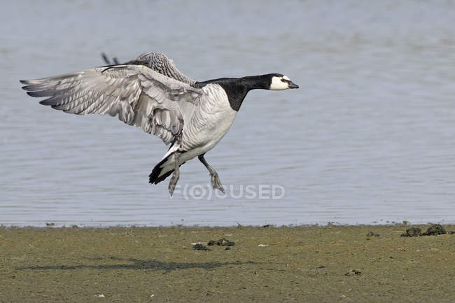Germany, Schleswig-Holstein, North Frisia, flying barnacle goose — Stock Photo