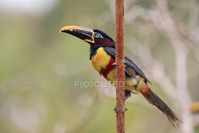 Brazil, Mato Grosso, Mato grosso do Sul, Pantanal, chestnut-eared aracari, Pteroglossus castanotis bird — стокове фото