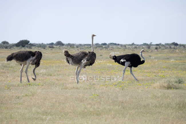Africa, Namibia, Etosha National Park, Three African Ostriches walking in nature — Stock Photo