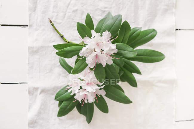 Ramita de rododendro sobre tela blanca sobre superficie de madera - foto de stock