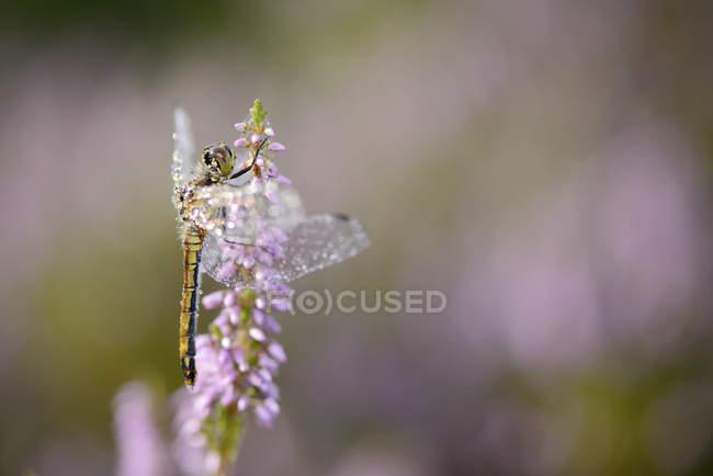 Libellule sur plante fleurie — Photo de stock