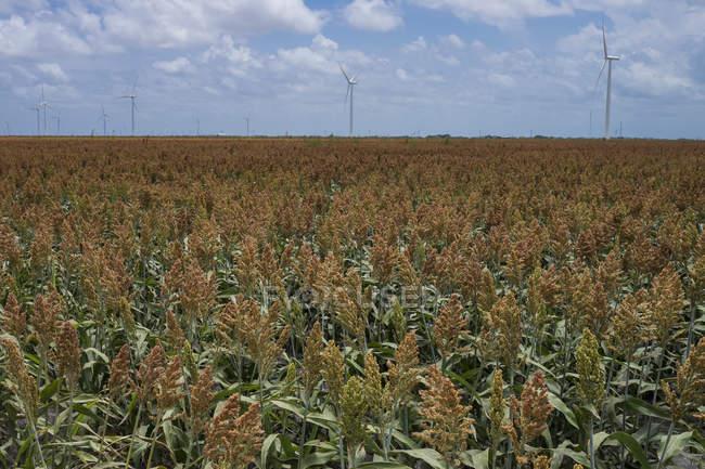 США, Техас, поле кукурузы молодых растений с ветровых турбин на заднем плане — стоковое фото