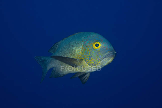Macolor macularis in front of blue background — Stock Photo