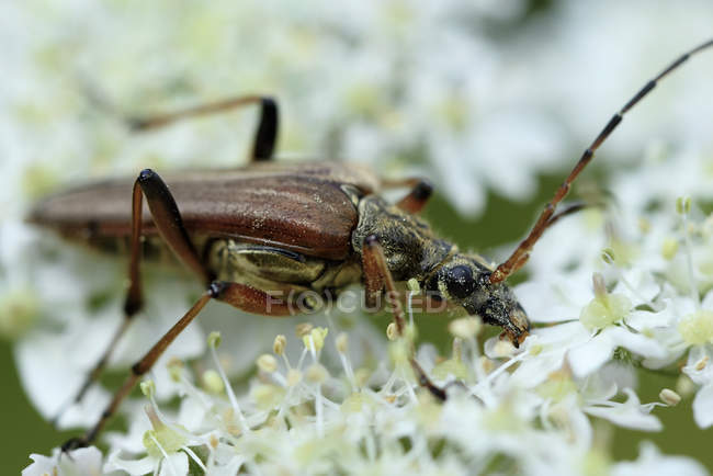 Longicorne, Stictoleptura rubra, assis sur la fleur — Photo de stock