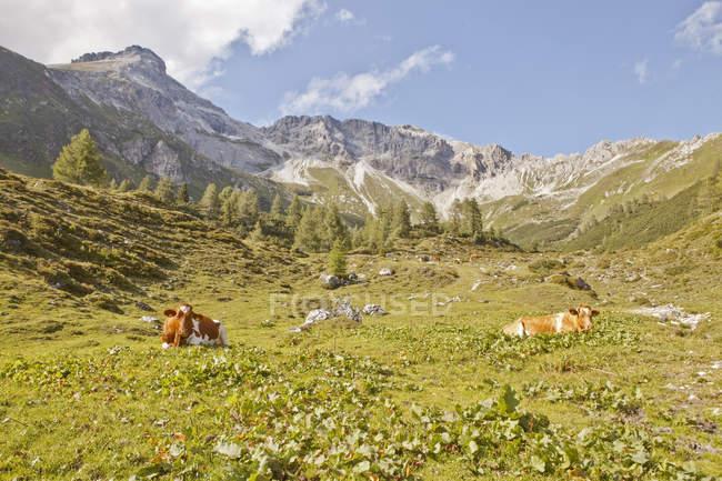 Австрия, Лунгау, коров в альпийский пейзаж, вид на горы на фоне — стоковое фото