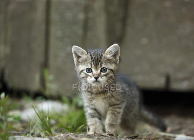 Tabby Kitten mit blauen Augen Blick in die Kamera im freien — Stockfoto