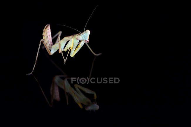 Giant Asian mantis, Hierodula Membranacea, in front of black background — Stock Photo