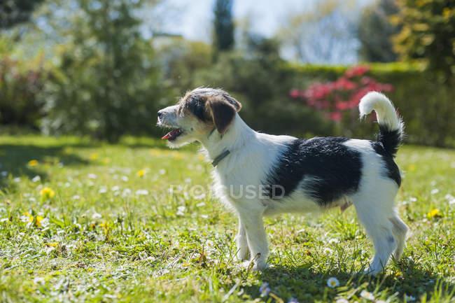 Jack Russel Terrier Welpe stehend im Garten — Stockfoto