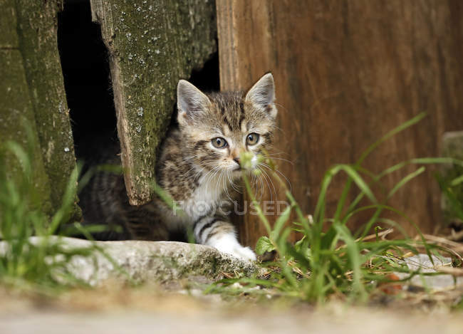 Close-up of Tabby kitten leaving old barn — Stock Photo
