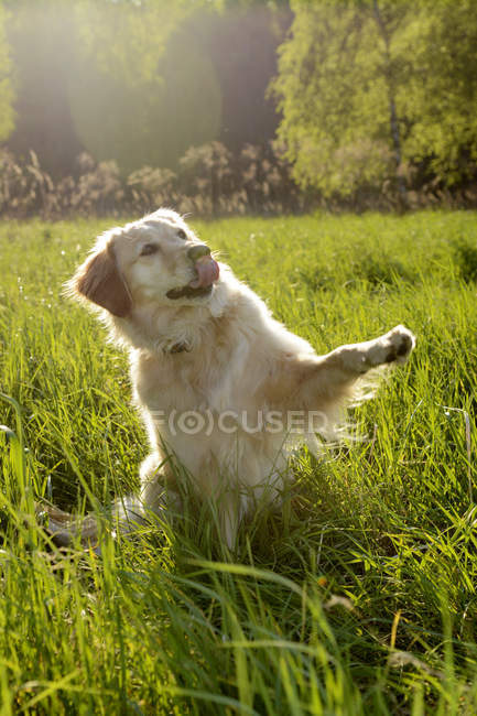 Golden Retriever donnant la patte sur Prairie — Photo de stock