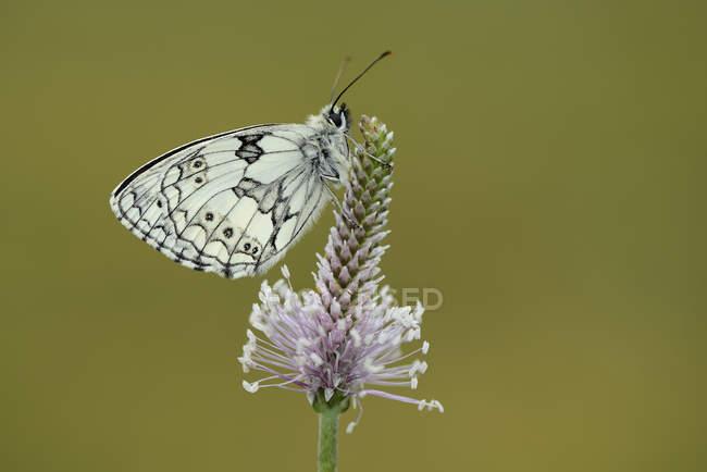 Мармуровий білий метелик на цвітіння — стокове фото