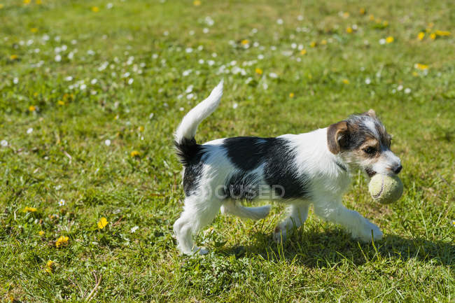 Jack Russel Terrier puppy walking in garden with ball — Stock Photo