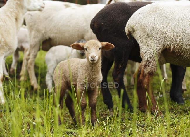 Коричневий ягняти, Ovis orientalis Овен по зеленій траві — стокове фото