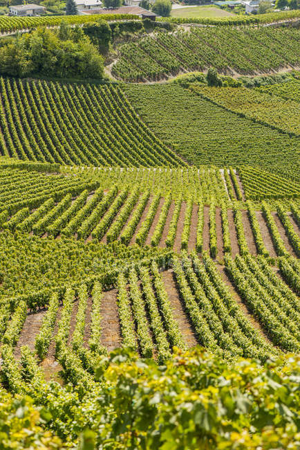 View of vine growing area of Conthey at daytime, Rhone Valley, Valais, Switzerland — Stock Photo