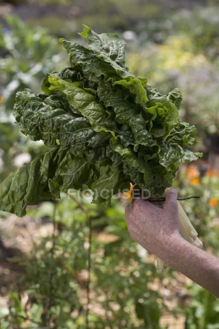Explotación espinacas frescas cogidas de la mano - foto de stock