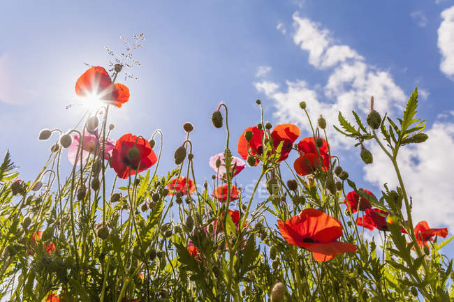 Alemania, amapolas rojas contra el sol - foto de stock