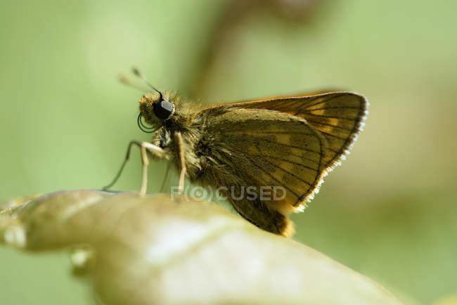Большой шкипера, Сильванус Ochlodes бабочка сидит на листья растений — стоковое фото