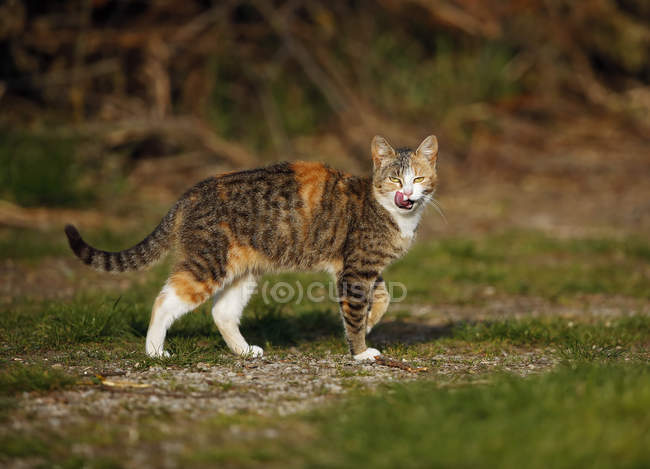 Red brown tabby cat standing outdoors — Stock Photo