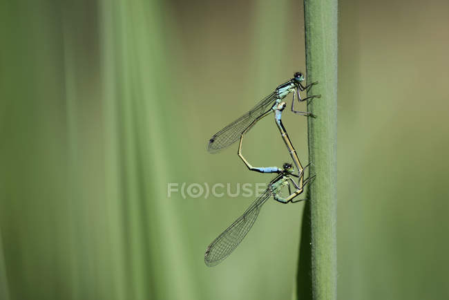 Two common blue damselflies, Enallagma cyathigerum, hanging at blade of grass in front of green background — Stock Photo