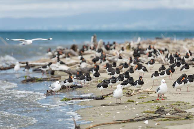 Нової Зеландії, Golden Bay, Pakawau, стадо Південного острова Pied Кулика та segaulls, відпочиваючи на пляжі — стокове фото