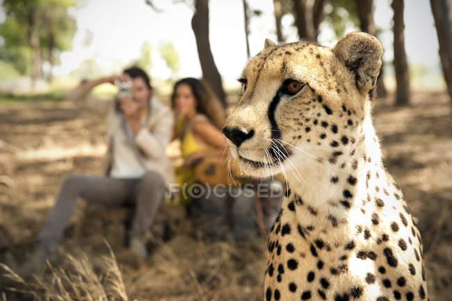 África do Sul, retrato de uma chita na frente de duas pessoas fotografando — Fotografia de Stock