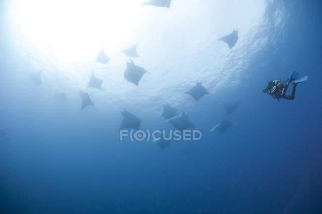 Portugal, Azores, Santa Maria, Atlantic Ocean, diver and Mobula rays — Stock Photo