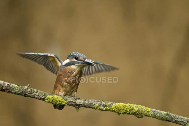 Зимородки atthis, сидя на ветке с раскрытыми крыльями — стоковое фото