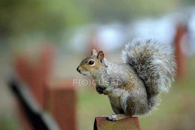 Vista laterale di carino scoiattolo grigio bilanciamento su palo di legno — Foto stock