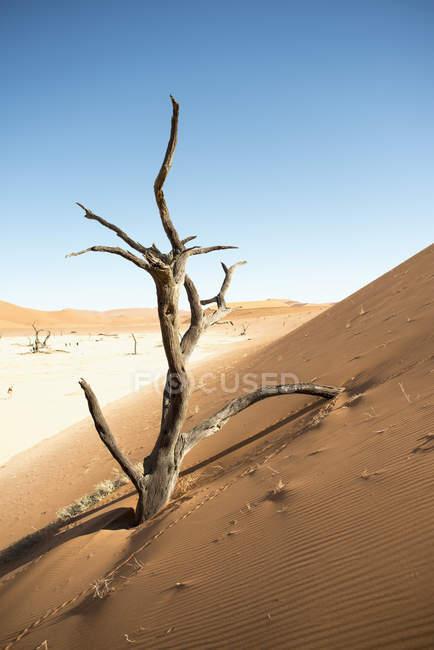 Africa, Namibia, Sossusvlei, Sand dune, Dead trees over sand during daytime — Stock Photo