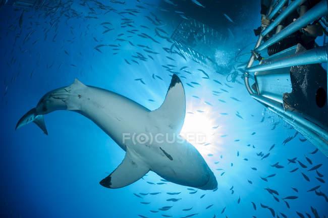 México, Guadalupe, Océano Pacífico, vista al fondo del tiburón blanco, Carcharodon carcharias - foto de stock
