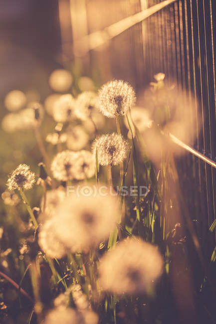 Blowballs at evening sunlight against fence — Stock Photo